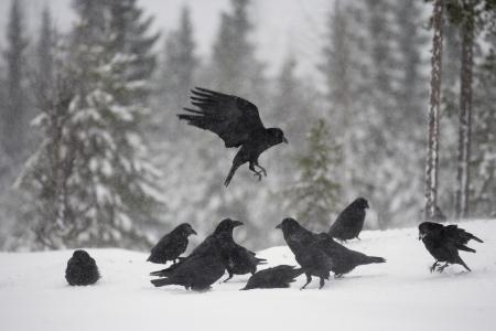 corax: Raven, Corvus corax, Finlandia, inverno