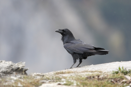 corax: Raven, Corvus corax. Spain, winter
