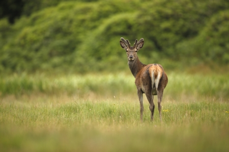 uplands: Red deer, Cervus elaphus, male in velvet, Islay, Hebrides, Scotland, July             Stock Photo