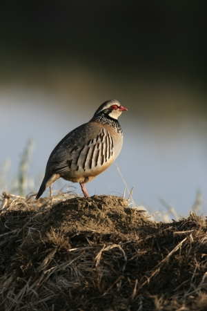 rufa: Red-legged partridge, Alectoris rufa on ground in Spain