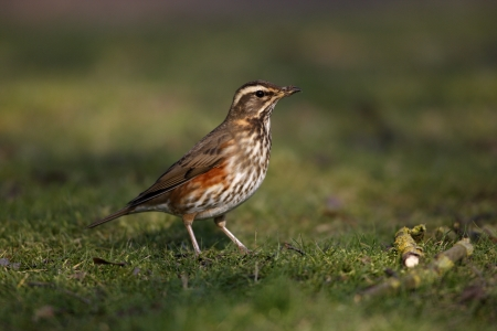 Redwing, Turdus iliacus, Single bird standing on grass, Goucestershire, UK, winter