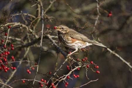 turdus: Redwing Turdus iliacus, On berries, Midlands, winter