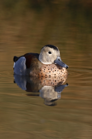 necked: Ringed teal or ring necked teal, Callonetta leucophrys, male, native to South America