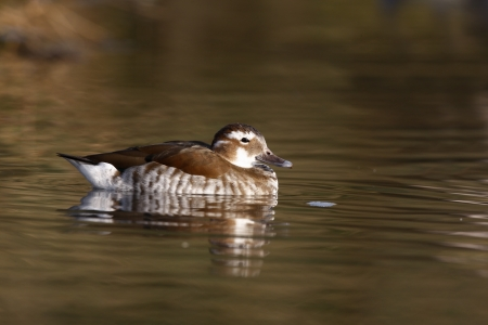 necked: Ringed teal or ring necked teal, Callonetta leucophrys, female, native to South America          Stock Photo