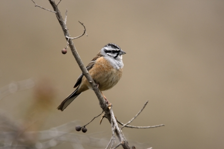 cia: Rock bunting, Emberiza cia, single bird on branch, Spain