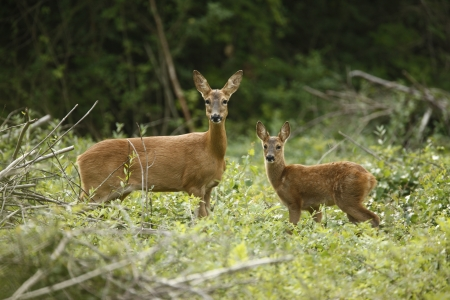 capreolus: Roe deer, Capreolus capreolus, mother and young in wood, Midlands, July 2008 Stock Photo