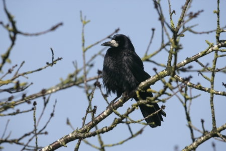 frugilegus: Rook Corvus frugilegus, Gloucestershire, winter              Stock Photo