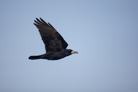 frugilegus: Rook, Corvus frugilegus, in flight, Gloucestershire, UK