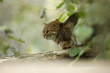 Rusty-spotted cat, Prionailurus rubiginosus phillipsi, captive
