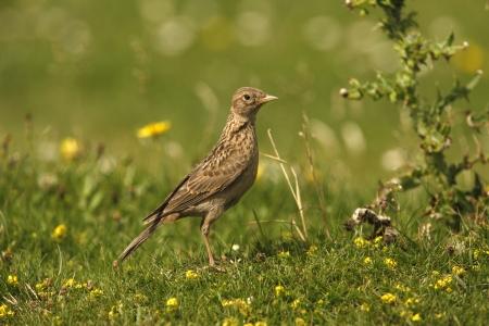 arvensis: Skylark, Alauda arvensis, Islay, Scotland, summer