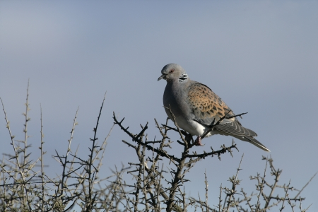 turtle dove: Turtle dove, Streptopelia turtur, single bird on branch, Spain  Stock Photo