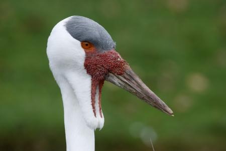 wattled: Wattled crane, Grus carunculatus, head detail, captive              Stock Photo