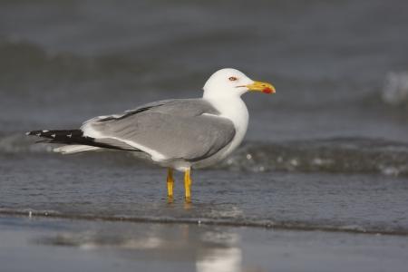 larus: Yellow-legged gull, Larus cachinnans, France