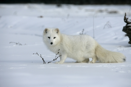 Arctic fox, Alopex lagopus, North America Stock Photo