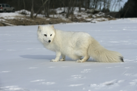 Arctic fox, Alopex lagopus, North America Stockfoto