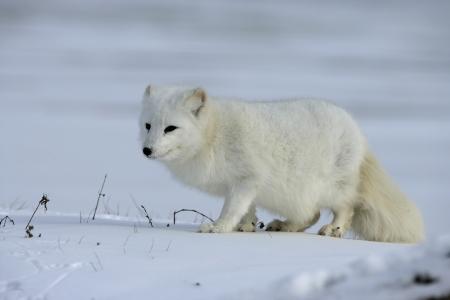 북극 여우, Alopex의 lagopus 북미