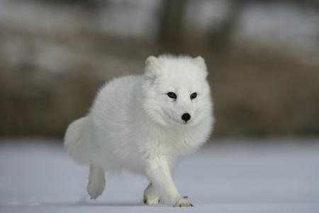arctic fox: Arctic fox, Alopex lagopus, North America Stock Photo