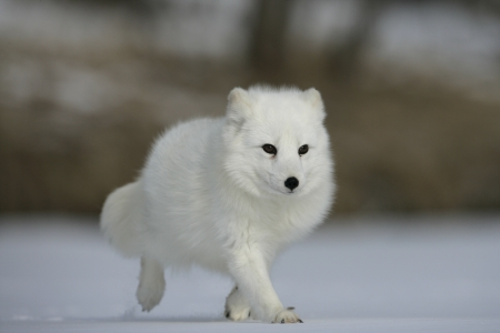 Arctic fox, Alopex lagopus, North America Stockfoto