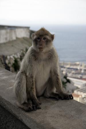 sylvanus: Barbary ape or macaque, Macaca sylvanus, Gibralter  Stock Photo