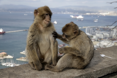 barbary ape: Barbary ape or macaque, Macaca sylvanus, Gibralter  Stock Photo