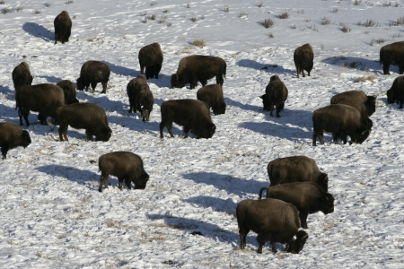 Bison, Bison bison, Yellowstone, USA photo