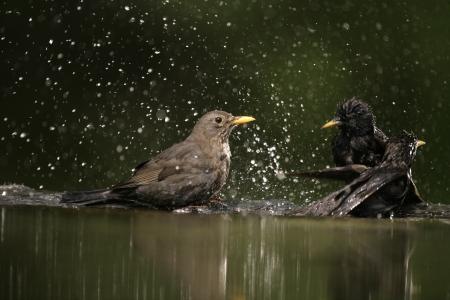 Blackbird, Turdus merula,single female at water, Hungary,  photo
