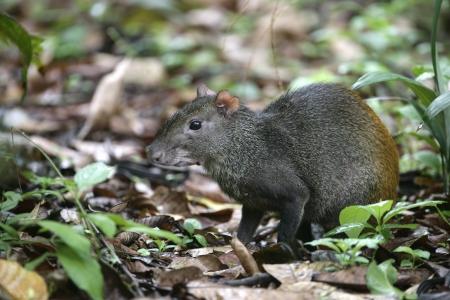 agouti: Brazilian agouti, Dasyprocta leporina, single mammal on floor, Brazil