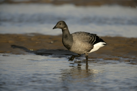 brent: Brent goose, dark-bellied, Branta bernicla, in water in Norfolk