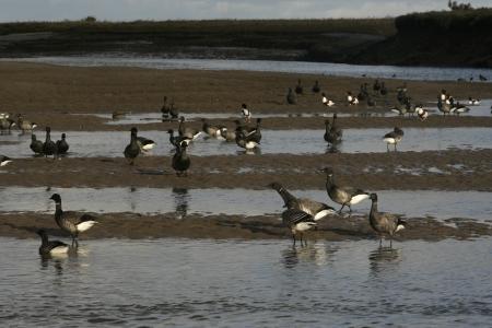 brent: Brent goose, dark-bellied, Branta bernicla, group in water in Norfolk