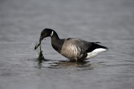 branta: Brent goose, dark-bellied, Branta bernicla, in water in Norfolk