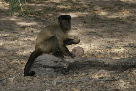 Brown capuchin or black-striped capuchin or bearded capuchin, Cebus libidinosus, Breaking open nut with stone,  Hyacinth Valley, Brazil