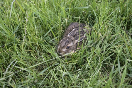 Brown hare, Lepus europaeus, young hare in grass, Worcestershire