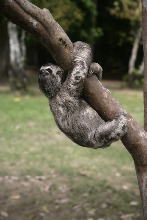 toed: Brown-throated three-toed sloth, Bradypus variegatus, Youngster, Brazil