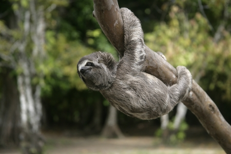 Brown-throated three-toed sloth, Bradypus variegatus, Youngster, Brazil