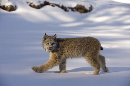 canadensis: Canadian lynx, Lynx canadensis, single cat in snow,