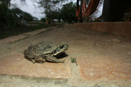 cold blooded: Cane toad, Bufo marinus, single animal on floor, Brazil Stock Photo