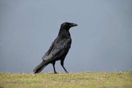 carrion: Carrion crow, Corvus corone, single bird on grass, Wales