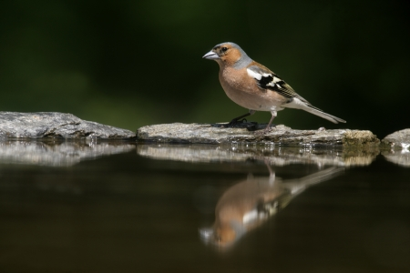 chaffinch: Chaffinch, Fringilla coelebs, male by water, Hungary