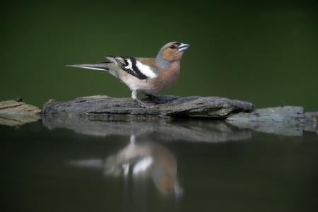 chaffinch: Fringuello, Fringilla coelebs, maschio da acqua, Ungheria