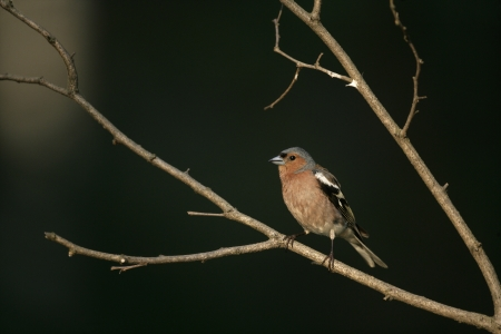 Chaffinch, Fringilla coelebs, male on branch, Wales photo