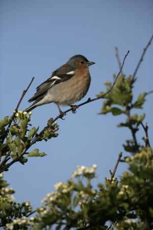chaffinch: Fringuello, Fringilla coelebs, maschio sul ramo, Galles Archivio Fotografico