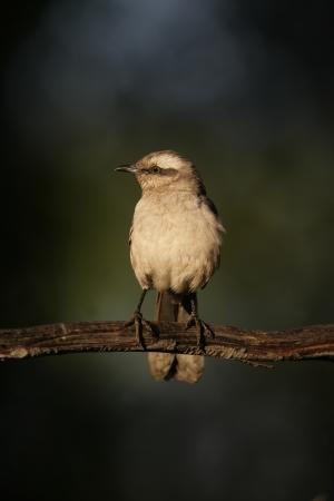 ruiseñor: Tiza de Ceja sinsonte, Mimus saturninus, solo pájaro en la rama, Brasil Foto de archivo