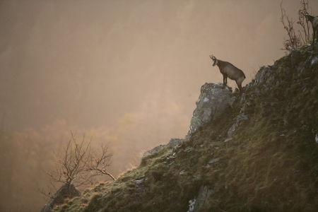 Chamois, Rupicapra rupicapra, single animal on hillside, France Stock Photo