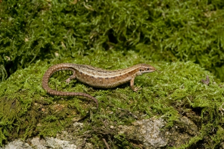 lacerta: Common Lizard, Lacerta vivipara, single animal in Dorset  Stock Photo