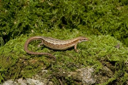 vivipara: Common Lizard, Lacerta vivipara, single animal in Dorset  Stock Photo