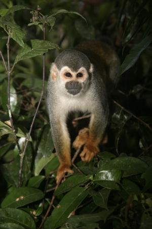 sciureus: Common squirrel monkey, Saimiri sciureus, single mammal on branch, Brazil Stock Photo