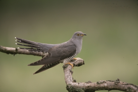 Cuckoo, Cuculus canorus, single bird on branch, Hungary