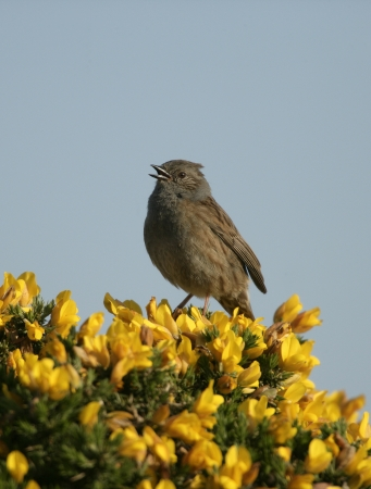 prunella: Dunnock or hedge sparrow, Prunella modularis, single bird on gorse  Stock Photo