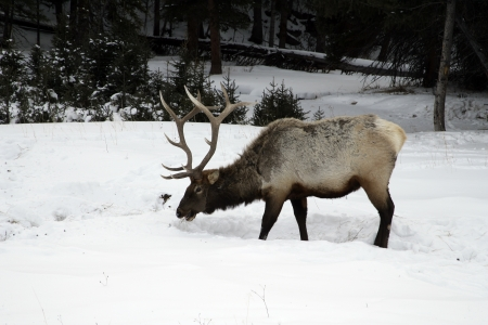 cervus elaphus: Elk, Cervus elaphus, single animal in snow, Yellowstone, USA