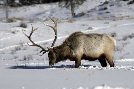 cervus: Elk, Cervus elaphus, single animal in snow, Yellowstone, USA